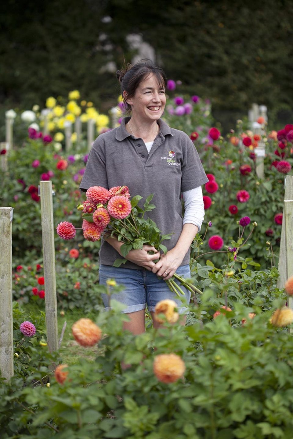 National Dahlia Collection Varfell Winchester Growers process bulbs staff Louise Danks